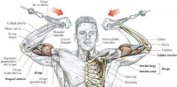 biceps musculos